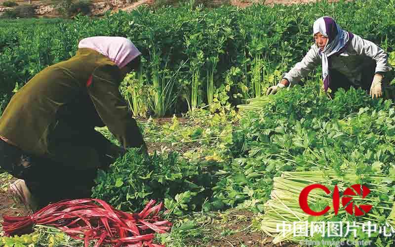 海原县园河流域、西吉县葫芦河畔搞起了西芹种植基地规模一年比一年大,农民收益一年比一年好。