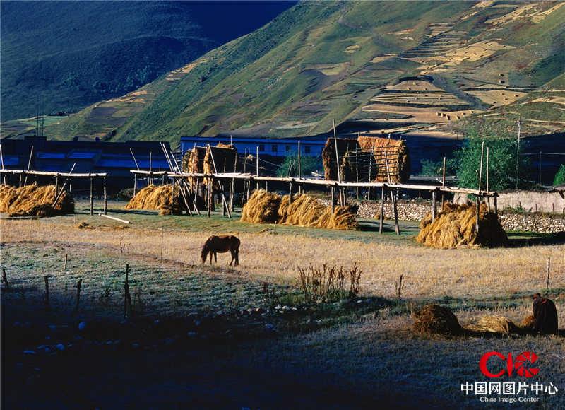 2004年9月,西藏,藏北草原,青稞收穫的時候
