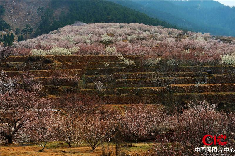 山东青岛:崂山北宅万亩樱桃花盛放
